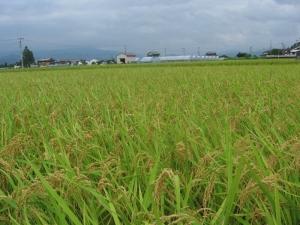 S180727西村コシの田んぼ