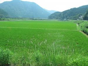 S180719岡井ヒノの田んぼ2