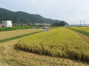 S180806村上コシ稲刈り1