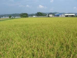 S180806もうすぐ稲刈りの富家コシ田んぼ