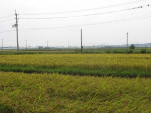S180806村上コシの田んぼ