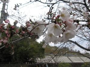 S190328桜1