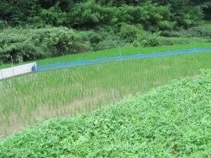 S190723遠山さんのアイガモ田んぼ
