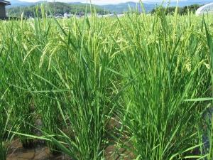 s190712門脇コシの稲