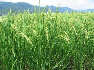 s190712富家コシの稲
