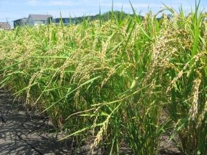 S190712南国そだちの稲