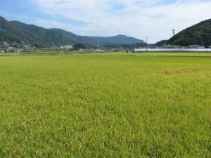 S190925川瀬さんのヒノヒカリ田んぼ2