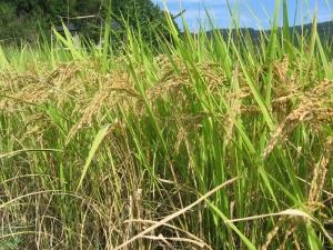 S190925川瀬さんのヒノヒカリの稲