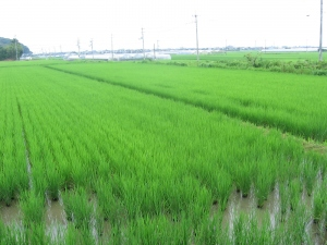200625村上コシの田んぼ