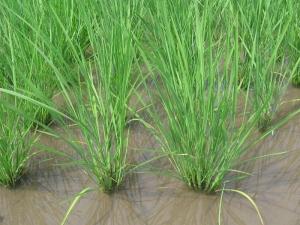 S200608金田さんの稲
