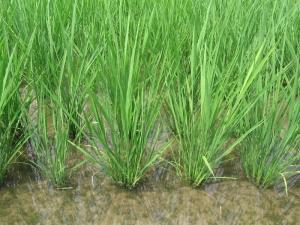 S200608寺川さんのよさ恋美人の稲