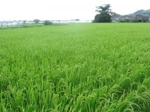 S200716公文コシの田んぼ