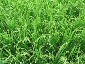 S200716公文コシの稲